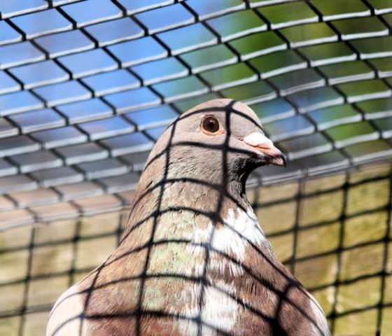 duif in kooi web